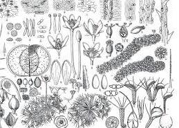 牧野富太郎植物画