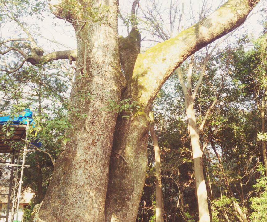 伊弉諾神宮ご神木