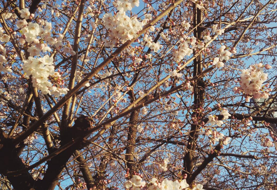 茨木市の桜