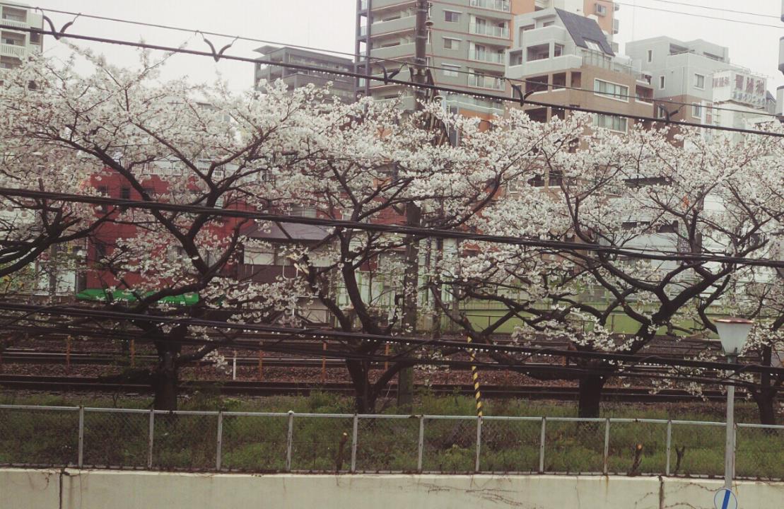 いろはの桜